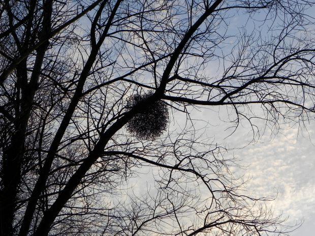 Mistletoe in early Spring