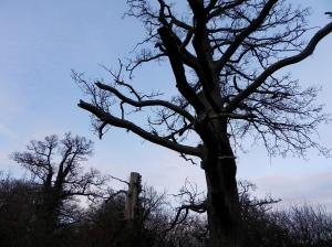 20. Portrait of a tree, Farnham Park