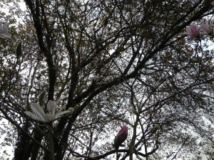 Magnolia Stellata - in the Springtime